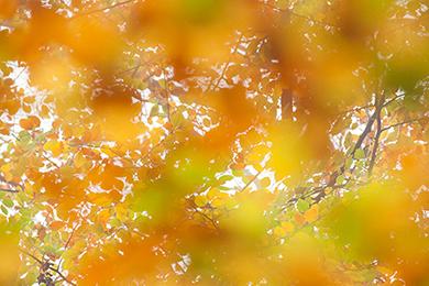 Abstract beeld van beukenbladeren in herfstsfeer.